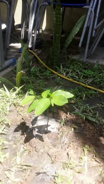 Arborização PE BA 71