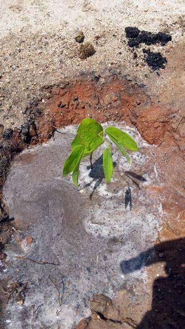 Arborização PE BA 79