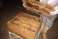 PEV colabora com captura e traslado de abelhas