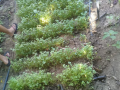 Atividade Horta Agroecológica. Porteiras-CE. 31/03/2020.